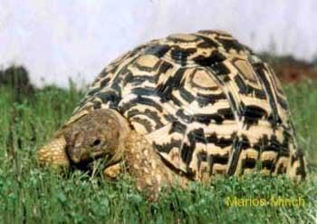 пантеровая черепаха, черепаха пантеровая (Geochelone pardalis), фото, фотография