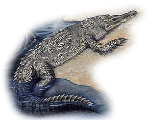 американский крокодил, остроносый крокодил, центрально-американский аллигатор, крокодил Рио-де-Жанейро (Crocodylus acutus), фото, фотография