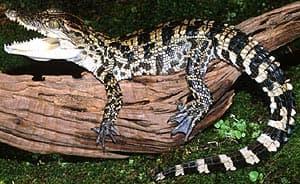 сиамский крокодил, крокодил сиамский (Crocodylus siamensis), фото, фотография