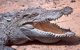 сиамский пресноводный крокодил, крокодил сиамский пресноводный (Crocodylus siamensis), фото, фотография