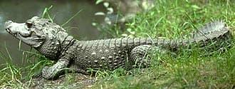 карликовый африканский крокодил, африканский кайман (Osteolaemus tetraspis), фото, фотография