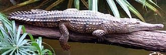 австралийский узкорылый крокодил, крокодил Джонстона (Crocodylus johnstoni), фото, фотография