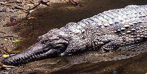 речной крокодил Джонстона, узкорылый крокодил (Crocodylus johnstoni), фото, фотография