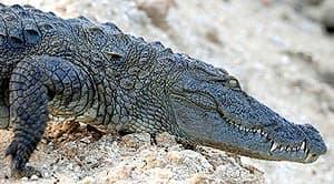 болотный крокодил, восточный крокодил (Crocodylus palustris), фото, фотография