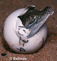 индийский крокодил, магер (Crocodylus palustris), фото, фотография