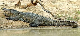 �������� ��������, �������� �������� (Crocodylus palustris), ����, ����������