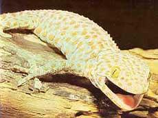геккон токи, токки (Gekko gecko), фото, фотография