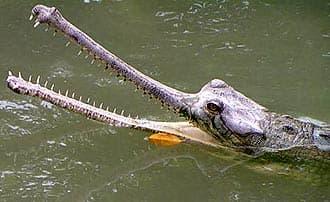 индийский гавиал, длинноносый крокодил (Gavialis gangeticus), фото, фотография