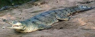 гангский гавиал, длинноносый крокодил (Gavialis gangeticus), фото, фотография