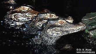 гладколобый кайман, мускусный кайман (Paleosuchus palpebrosus), фото, фотография
