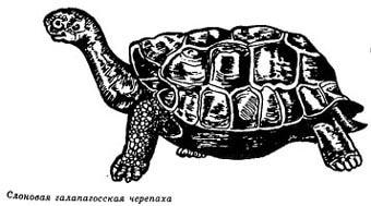 слоновая галапагосская черепаха, рисунок, картинка