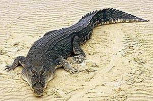 гребнистый крокодил, австралийский крокодил Салтватера (Crocodylus porosus), фото, фотография
