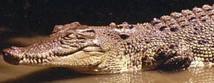 индо-тихоокеанский крокодил, мореходный крокодил (Crocodylus porosus), фото, фотография