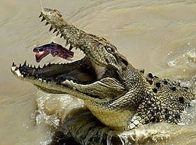 гребнистый крокодил (Crocodylus porosus), фото, фотография