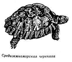 средиземноморская черепаха, рисунок, картинка
