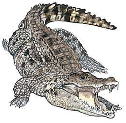 кубинский крокодил, жемчужный крокодил (Crocodylus rhombifer), фото, фотография
