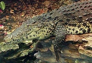кубинский крокодил, криоло (Crocodylus rhombifer), фото, фотография