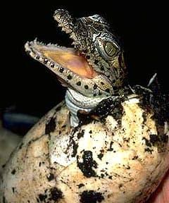 криоло, жемчужный крокодил (Crocodylus rhombifer), фото, фотография