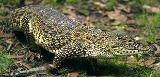 кубинский крокодил (Crocodylus rhombifer), фото, фотография