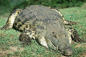 нильский крокодил, крокодил нильский (Crocodylus niloticus), фото, фотография