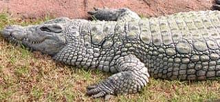 нильский крокодил (Crocodylus niloticus), фото, фотография