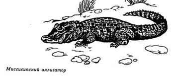 миссисипский аллигатор, картинка, рисунок
