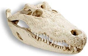 череп нильского крокодила (Crocodylus niloticus), фото, фотография