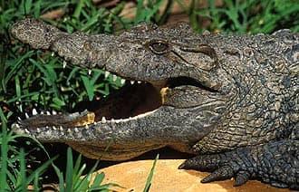 новогвинейский пресноводный крокодил (Crocodylus novaeguineae), фото, фотография