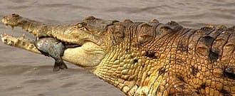 оринокский крокодил, крокодил Ориноко (Crocodylus intermedius), фото, фотография