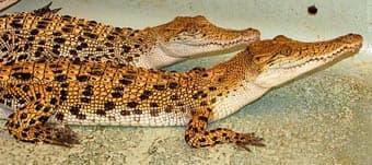 крокодил пресноводный филиппинский (Crocodylus mindorensis), фото, фотография