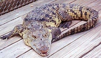центральноамериканский крокодил, крокодил Морелета (Crocodylus moreletii), фото, фотография