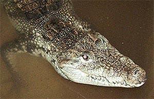 мексиканский крокодил, центрально-американский крокодил (Crocodylus moreletii), фото, фотография