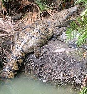 центральноамериканский крокодил (Crocodylus moreletii), фото, фотография