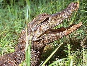карликовый кайман Шнайдера (Paleosuchus trigonatus), фото, фотография