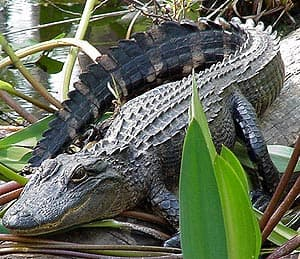 китайский аллигатор (Alligator sinensis), фото, фотография
