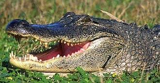 щучий аллигатор (Alligator mississippiensis), фото, фотография