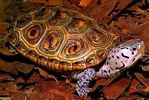 техасская бриллиантовая черепаха, бугорчатая черепаха (Malaclemys terrapin), фото, фотография