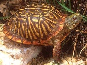 расписная черепаха, украшенная коробчатая черепаха (Terrapene ornata ornata), фото, фотография