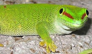 широкохвостая фельзума, плоскохвостый мадагаскарский геккон (Phelsuma laticauda), самка фото, фотография с http://users.atw.hu