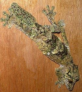 мшистый плоскохвостый геккон, листохвостый геккон Сикора (Uroplatus sikorae), фото, фотография с http://upload.wikimedia.org