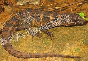 ребристый сцинк Грея, крокодиловый сцинк, красноглазый сцинк, тропидофорус (Tropidophorus grayi), фото, фотография с http://www.herpwatch.org