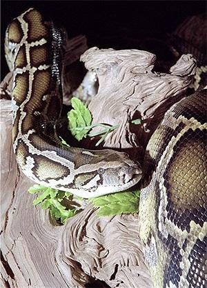 тигровый питон (Python molurus), фото, фотография с http://www.prehistoricpets.com