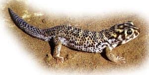 сцинковый геккон, геккон сцинковый (Teratoscincus scincus), фото, фотография с http://uts.cc.utexas.edu/~varanus