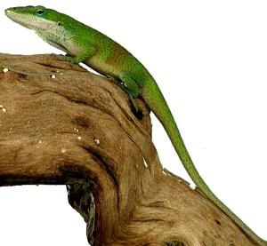 анолис красногорлый, анолис каролинский (Anolis carolinensis), фото, фотография