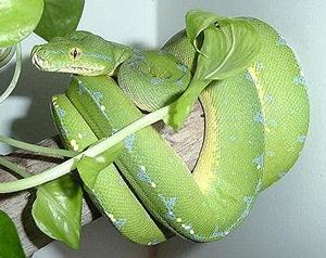 зеленая змейка, фото, фотография