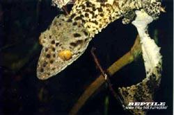 Листохвостые гекконы