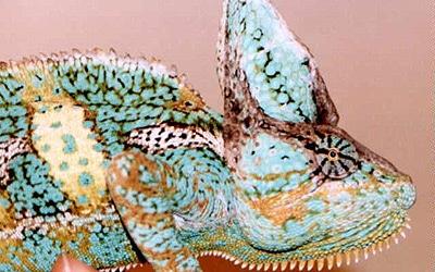 Йеменский хамелеон (Chamaeleo calyptratus), фото фотография