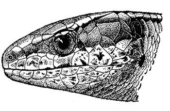 голова Алайского гологлаза (Ablepharus alaicus), черно-белый рисунок картинка