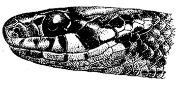 Голова японского ужа (Amphiesma vibakari), черно-белая картинка рисунок