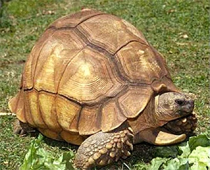 Мадагаскарская клювогрудая черепаха (Asterochelys yniphora), фото фотография c http://i10.servimg.com/u/f10/10/05/38/75/carold10.jpg